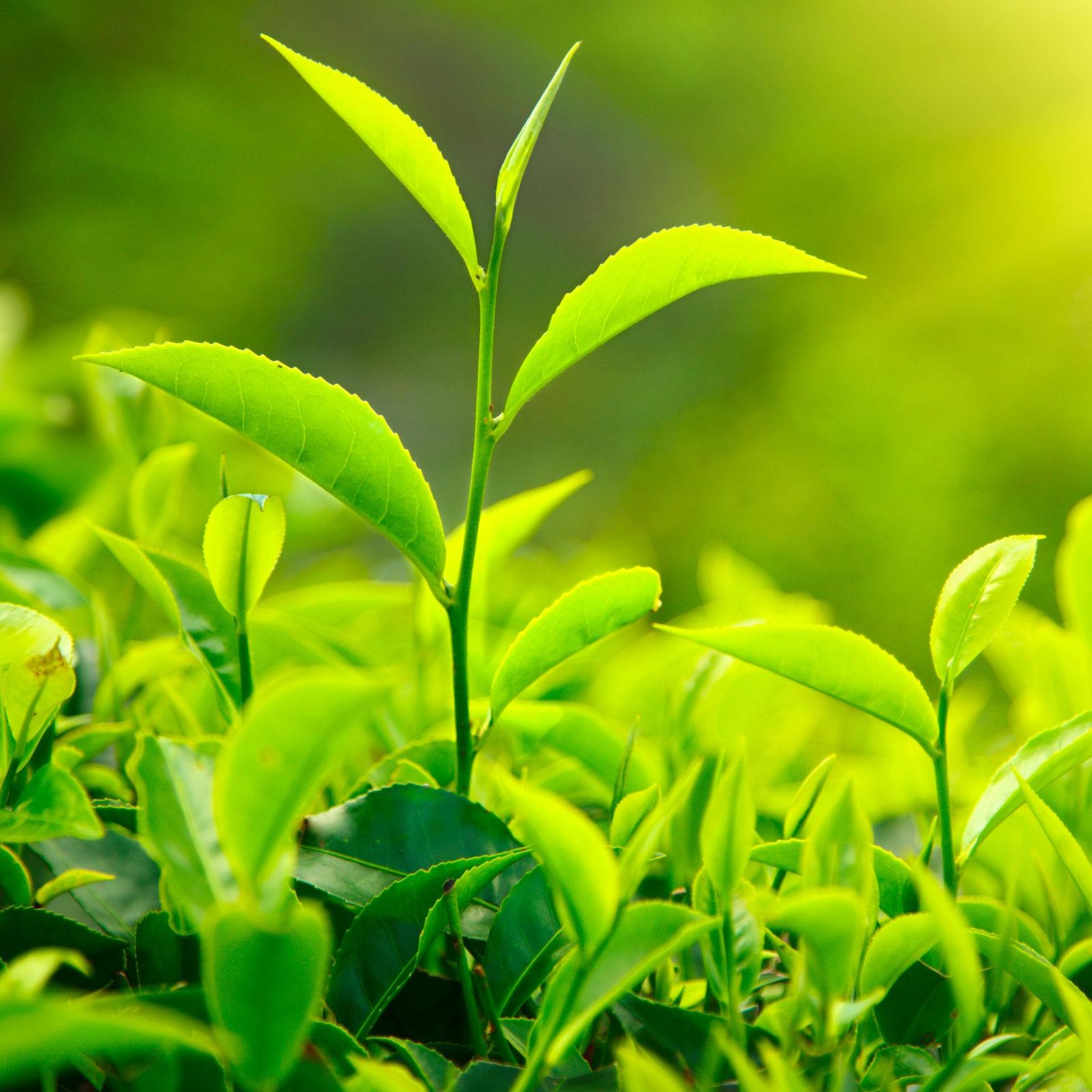 قیمت چای بهاره 98 اعلام شد. چای لاهیجان و فومنات
