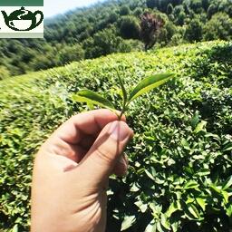 تبلیغات سوء فروشندگان چای برای نابودی چای ایرانی